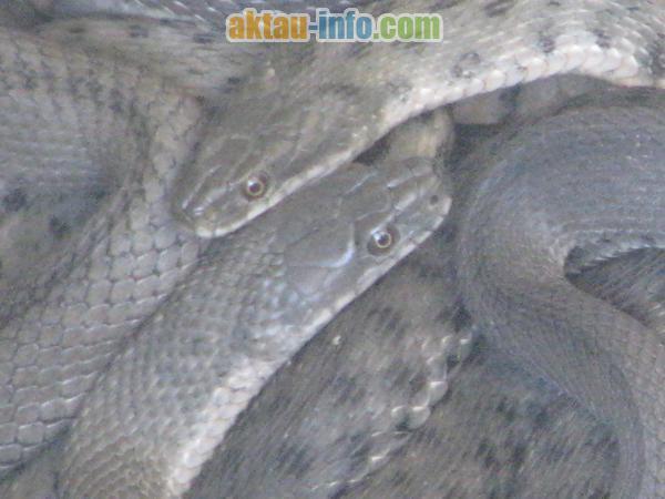 змеи водянки на Каспийском море