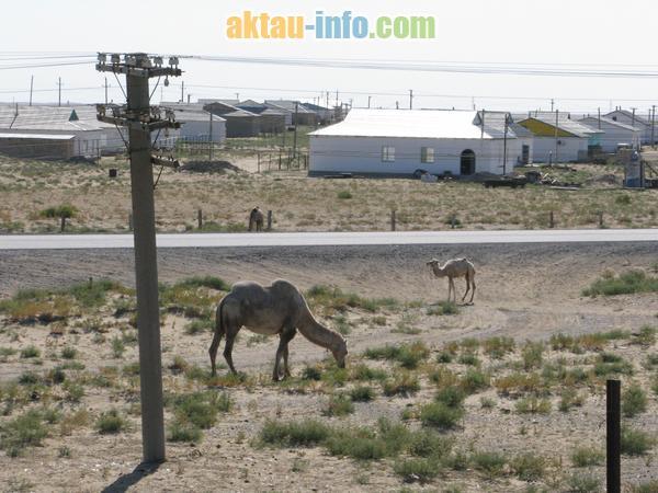 Верблюды Мангистау