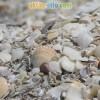 Каспийские ракушки