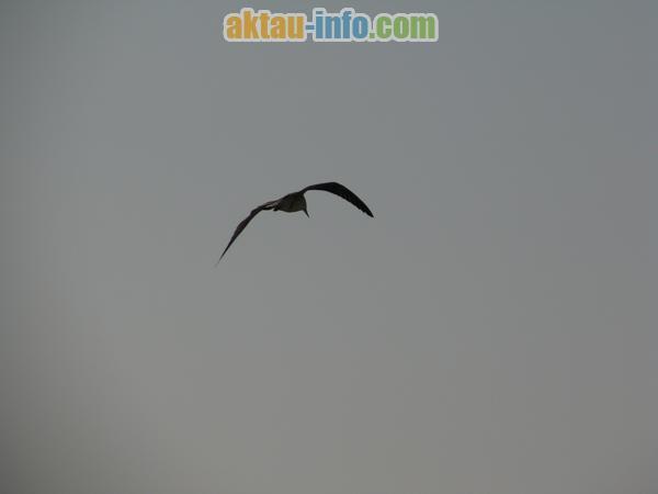 чайка на Каспийском море