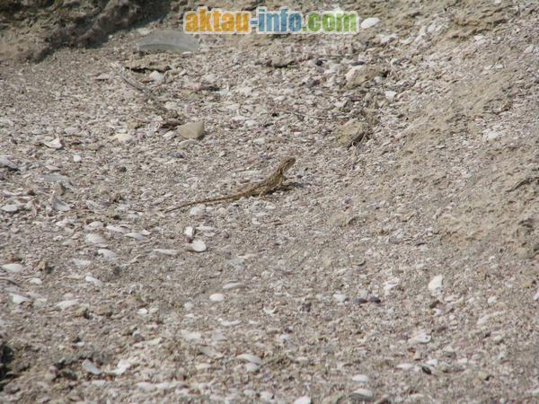 Ящерица Каспийского побережья