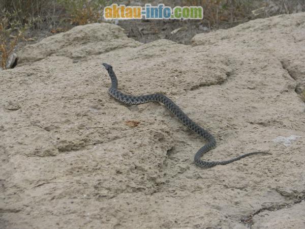 Змеи Каспийского побережья