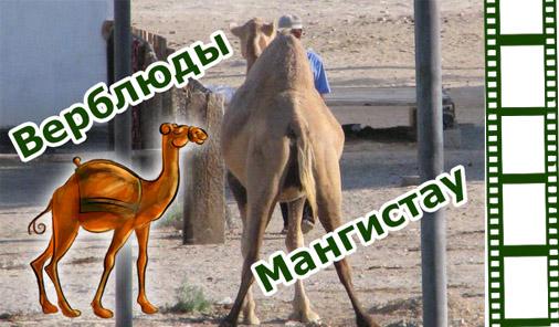 Верблюды в Мангистау