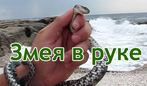 Змея в руке, пойманная змея на Каспийском море