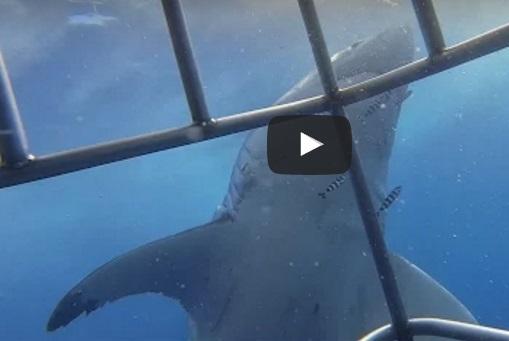 нападение белой акулы на человека, нападение белой акулы, нападение акулы на человека, нападение акулы